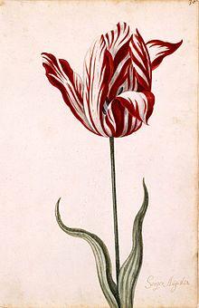 220px-Semper_Augustus_Tulip_17th_century.jpg